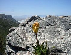 Aloe commixta, a rambling species of aloe native to the Cape Peninsula. Plant Species, Hedges, Dream Garden, Shrubs, Habitats, Nature, Plants, Cape, Feather