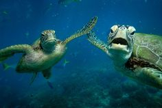 Hey girl. Heeeyyy!!! Two green turtles, Shelley and Casey, share a 'high-five' underwater. The photograph was taken by Australian snapper Troy Mayne, 39, at Moore Reef, on the Great Barrier Reef