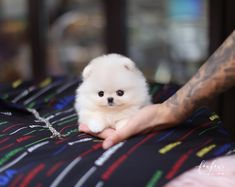 Welcome to FouFou Puppies. The Home of the World's Most Exquisite Micro Teacup Puppies for Sale. Contact Us Today to Reserve Your Teacup Puppy! Teacup Puppies For Sale, Tiny Puppies, Teacup Pomeranian, Short Hair Cuts For Women, Dog Toys, Tea Cups, Dogs, Animals, Mini