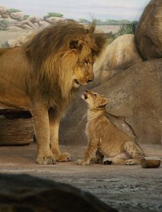 Father and son.....the same in every species #lions #big cats