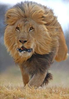 Big Cats: Lion
