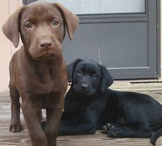 Chocolate & Black Lab Pups.... I would love these two cuties.