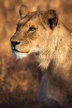 Sabi Sands Lioness by Mario Moreno*