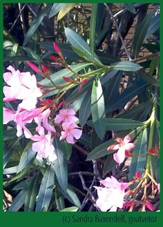 Oleanders are deadly to goats (& people). #goatvet says- remove any in your garden & replace with hibiscus, if need a tropical plant