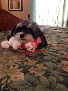 My sweet little girl, Madison. Havanese are the best breed ever!  No shedding, no smell, don't yap, smart as can be, loves you like crazy!