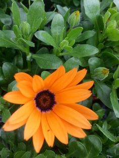#Orange symphony #provenwinner #flower. #stauffersofkisselhill