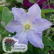 Clematis - lots of plants at gardencrossings.com