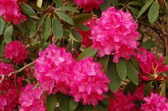 Rhododendron-replace red bush at bottom of driveway
