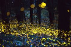 Long Exposure of Fireflies in Japan just before dark by Tsuneaki Hiramatsu