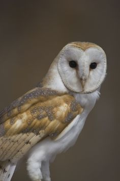 Barn Owl Species | Barn Owl Facts - Information About Barn Owl