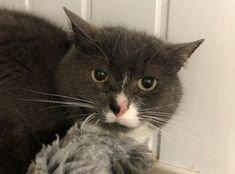 Meet gentle Louie,Louie came into our care from a multihousehold of cats so has had great socialising to start with. Shy Guy, Cattery, White Cats, Go Outside, Cuddling, Dog Cat, Blue And White, Pets, Animals