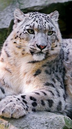 snow_leopard_big_cat_carnivore_lay_59922_640x1136 | Flickr - Photo Sharing!