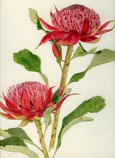 Waratah F44 | Helen Fitzgerald - Botanical & Wildlife artist | Helen Fitzgerald