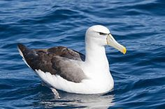 The albatrosses are among the largest of flying birds, and the great albatrosses from the genus Diomedea have the largest wingspans of any extant birds. There are 21 species worldwide and 1 species which occurs in Somalia.