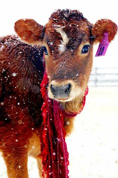 Miniature Breeds Of Cattle That Are Perfect For Small Farms Cute Baby Animals, Farm Animals, Animals And Pets, Cow Pictures, Animal Pictures, Cow Pics, Beautiful Creatures, Animals Beautiful, Miniature Cows