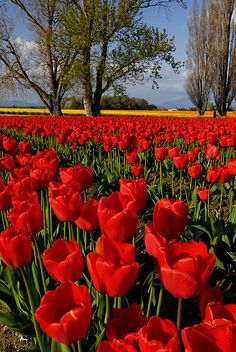 Tulip Field, via Flickr.