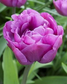 Tulip Blue Diamond - Flower Bulbs | DutchGrown®
