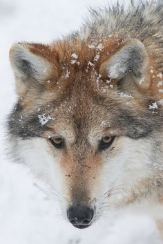 Mexican Wolf in the Snow