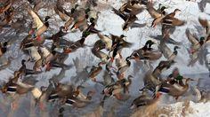 """""""Flock of Mallards"""" #SunKuWriter Free Books http://sunkuwriter.com"""