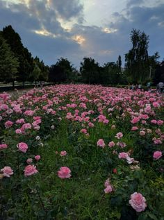 Pink Roses Batch in Ploiesti, Romania