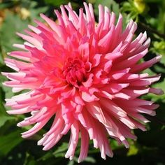 Clearview Dahlias: Pink Bubblegum