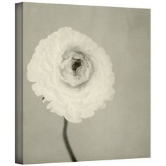 Ranunculus by Elena Ray Gallery-Wrapped Canvas