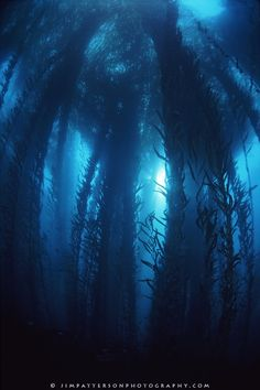 The underwater visibility along the California coast is highly variable, but in winter months, the Pacific can turn a deep shade of blue.  This large kelp forest off the coast of Big Sur is an example of this intense clarity.