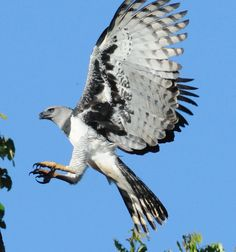 The Harpy Eagle has both the super powers of strength and size in the world of birds. Description from yuviral.com. I searched for this on bing.com/images