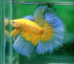 If you want to know how to take care of Betta fish, this article will help you get started and get rid of some of the most common misconceptions that people have about these fish. Pretty Fish, Cool Fish, Beautiful Fish, Betta Fish Types, Betta Fish Care, Colorful Fish, Tropical Fish, Aquariums, Beta Fish