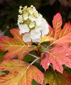 Oakleaf Hydrangea (Hydrangea quercifolia), is of the best picks for deep shade, this southeastern native features cone-shaped blooms from mid- to late summer and hefty leaves that turn purple-red in autumn. 'Snow Queen' (shown) is especially bright in fall. Size: 4 to 10 feet tall and up to 8 feet wide Zones: 5 to 9