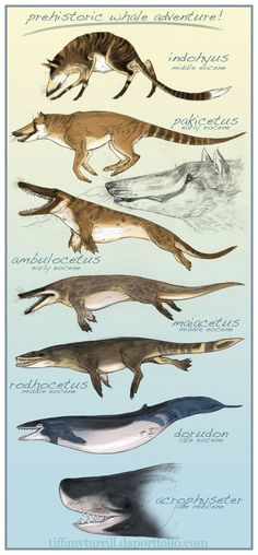 """lostbeasts: """" gallantcannibal: """" Prehistoric whale evolution, illustrated by Tiffany Turrill. """" Ambulocetus, my sweet baby """" Whale evolution is awesome! Dinosaur Art, Dinosaur Fossils, Dinosaur Crafts, Extinct Animals, Prehistoric Creatures, Fauna, Creature Design, Natural History, Mammals"""