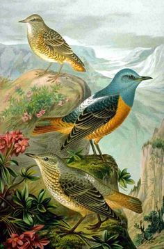 Common Rock Thrush (Monticola saxatilis) from Naturgeschichte der Vögel Mitteleuropas (1905) by Johann Friedrich Naumann.    They don't look 'common' to me...                                                                                                                                                                                 Plus