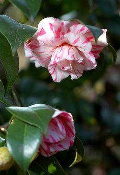 Camellia japonica 'Yabu-Tsubaki'