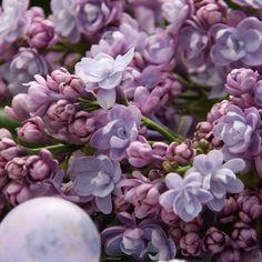 Flieder-arten Duftende-frühjahr Blüher-dezent-lila | Flieder ... Flieder Farben Arten Fakten Pflege