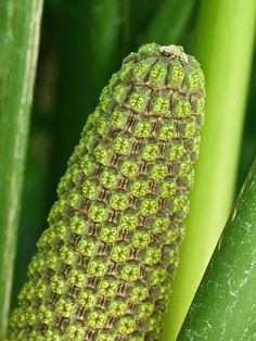 Patterns in nature by annkelliott, via Flickr Inflorescence of a plant from the  Cyclanthaceae