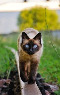 Tonkinese kat