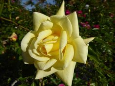 (189) The Friends of Vintage Roses
