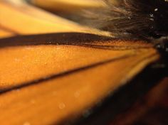 """""""Monarch Butterfly Wings Attach"""" photo by Allison Britten"""