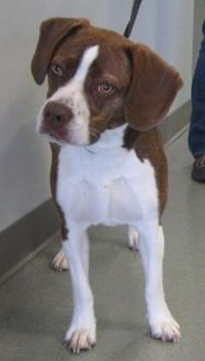 Franklin, IN - Boxer/Beagle Mix. Meet Cooper, a dog for adoption. http://www.adoptapet.com/pet/19101279-franklin-indiana-boxer-mix