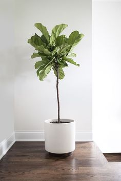 House interior: floor color; and of course a fig tree in a modern planter