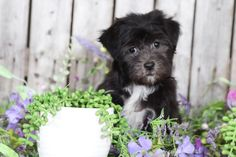 Havanese puppies for sale! Lancaster Puppies has Havanese puppies. We pair Havanese breeders with great folks like you. Get your little puppy today. Havanese Breeders, Havanese Puppies For Sale, Animals Dog, Cute Animals, Lancaster Puppies, Shih Tzus, Little Puppies, Maltese, Mans Best Friend
