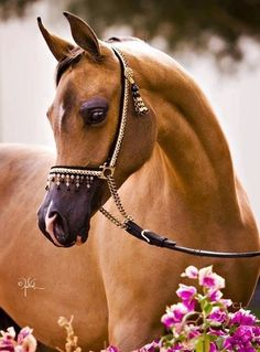 I grew up on a Arabian horse ranch, this horse has a beautiful head.
