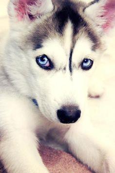 Baby husky <3