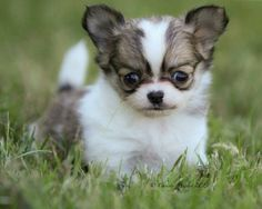 Chihuahua Puppies Images   cutedogwallpapers.com