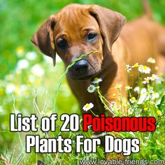 List Of 20 Poisonous Plants For Dogs   ►►http://lovable-dogs.com/list-of-20-poisonous-plants-for-dogs/?i=p