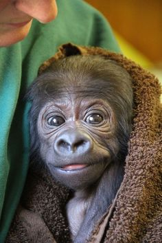 Wilhelma Zoo in Stuttgart, Germany is now home to Tano, a tiny baby Gorilla who was transported from his birth place in Zoo Prague just a week ago. His inexperienced mother Bikira was unable to care for him, so Zoo Prague moved him to Wilhelma in coordination with the European Endangered Species Programme.