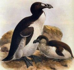 The Top 15 Most Beautiful Extinct AnimalsThe Great Auk had a similar appearance to present day penguins. Extinct Birds, Extinct Animals, Rare Animals, Animals And Pets, Reptiles And Amphibians, Mammals, Great Auk, Prehistoric Wildlife, Forest Habitat