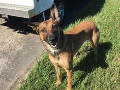This DOG - ID#A469365 - URGENT - Harris County Animal Shelter in Houston, Texas - ADOPT OR FOSTER - I have a possible adopter - 1 year old Female Belgian Malinois mix - at shelter since Sep 30, 2016.