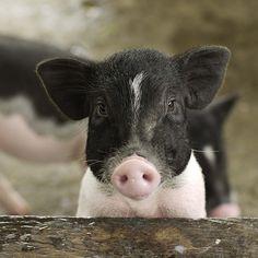 Baby pigs are so cute Pet Pigs, Baby Pigs, Mundo Animal, My Animal, Beautiful Creatures, Animals Beautiful, Farm Animals, Cute Animals, Cute Piggies