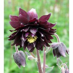 blumen weiss viburnum opulus roseum schneeball blumen pinterest. Black Bedroom Furniture Sets. Home Design Ideas